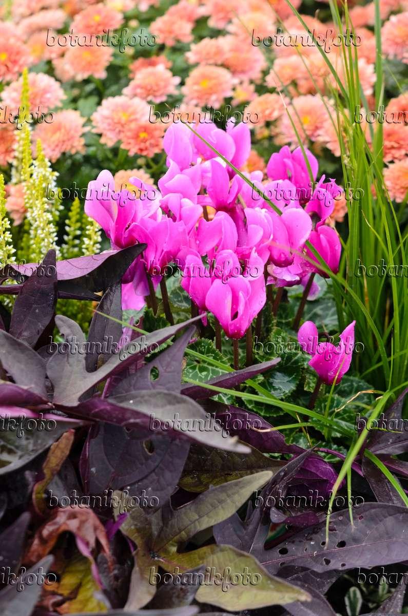 bilder cyclamen 2 bilder und videos von pflanzen und g rten botanikfoto. Black Bedroom Furniture Sets. Home Design Ideas