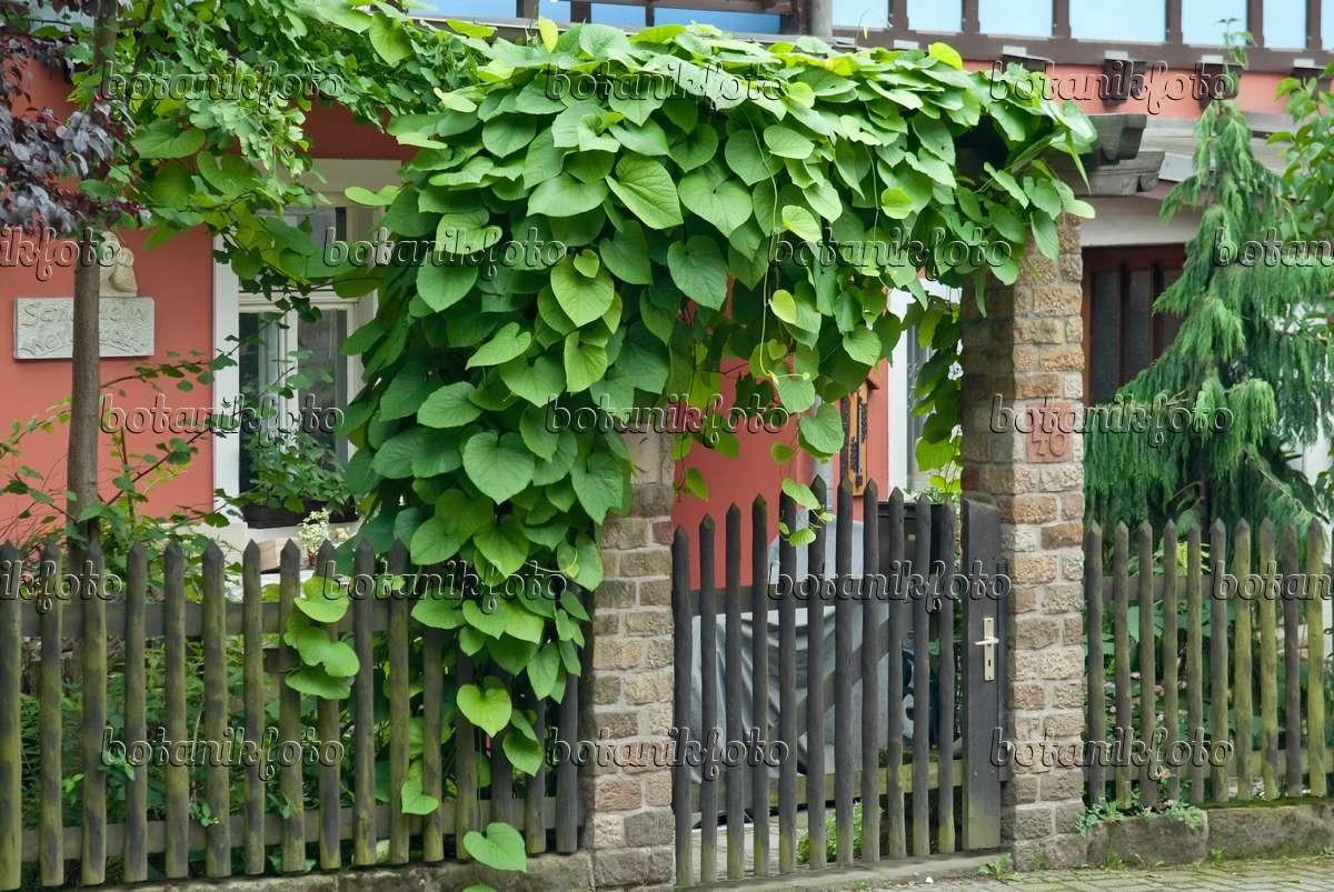 bild amerikanische pfeifenwinde aristolochia macrophylla. Black Bedroom Furniture Sets. Home Design Ideas
