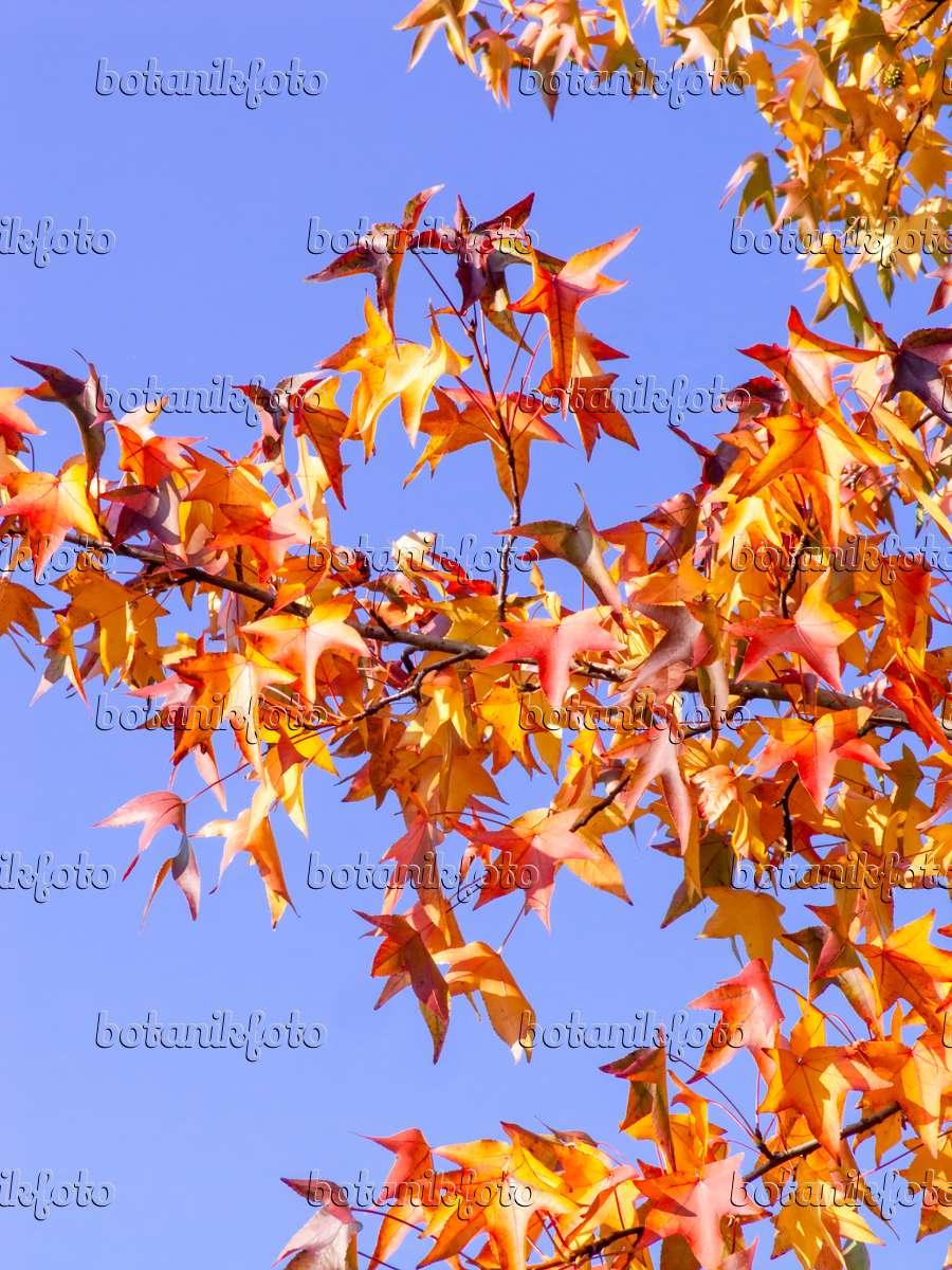 bild amerikanischer amberbaum liquidambar styraciflua 465118 bilder und videos von. Black Bedroom Furniture Sets. Home Design Ideas