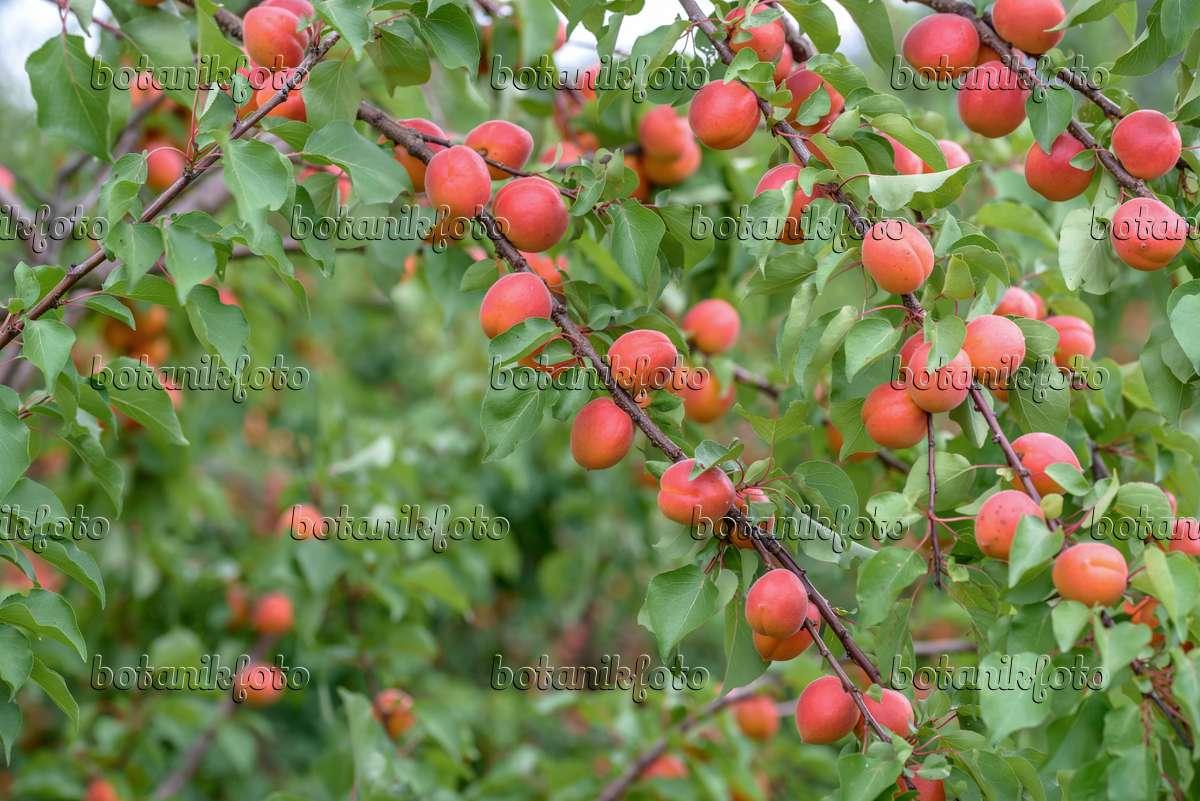 bild aprikose prunus armeniaca 39 bergarouge 39 575209 bilder und videos von pflanzen und. Black Bedroom Furniture Sets. Home Design Ideas