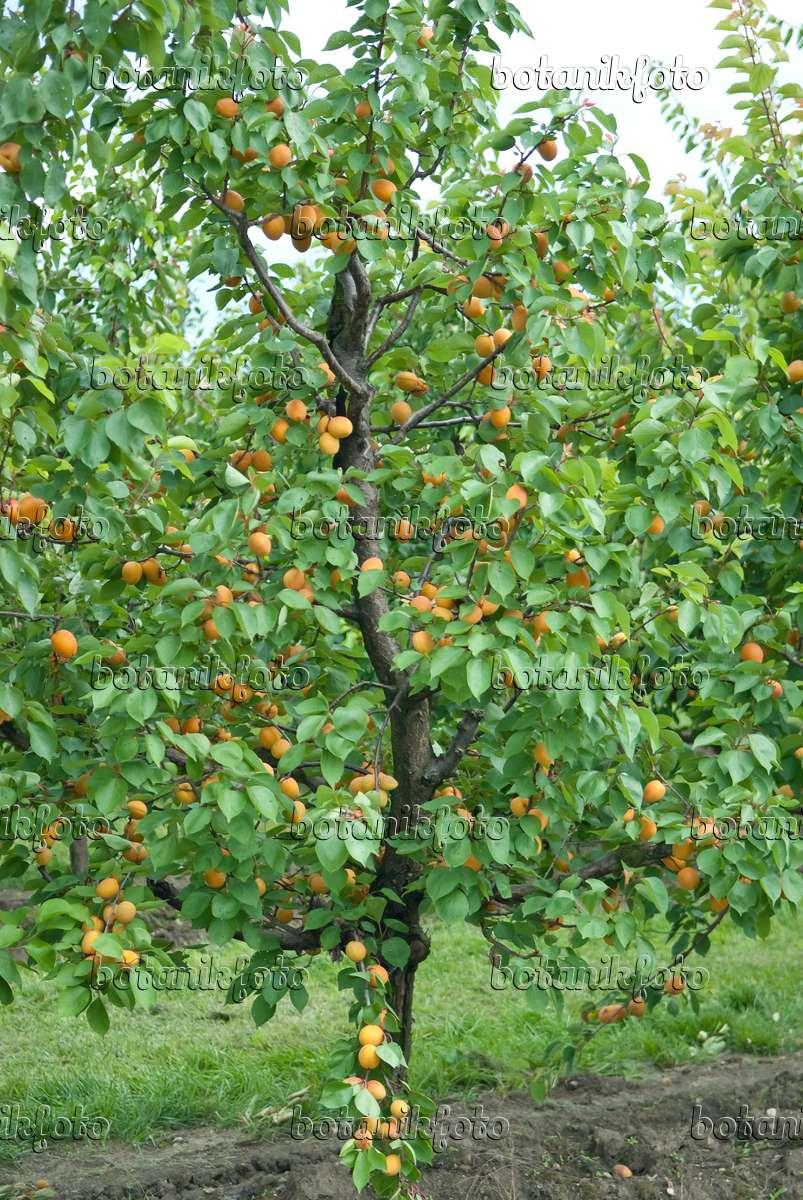 bild aprikose prunus armeniaca 39 goldrich 39 502326 bilder und videos von pflanzen und g rten. Black Bedroom Furniture Sets. Home Design Ideas