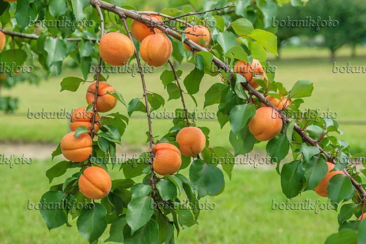 bild aprikose prunus armeniaca 39 hargrand 39 575214 bilder und videos von pflanzen und g rten. Black Bedroom Furniture Sets. Home Design Ideas