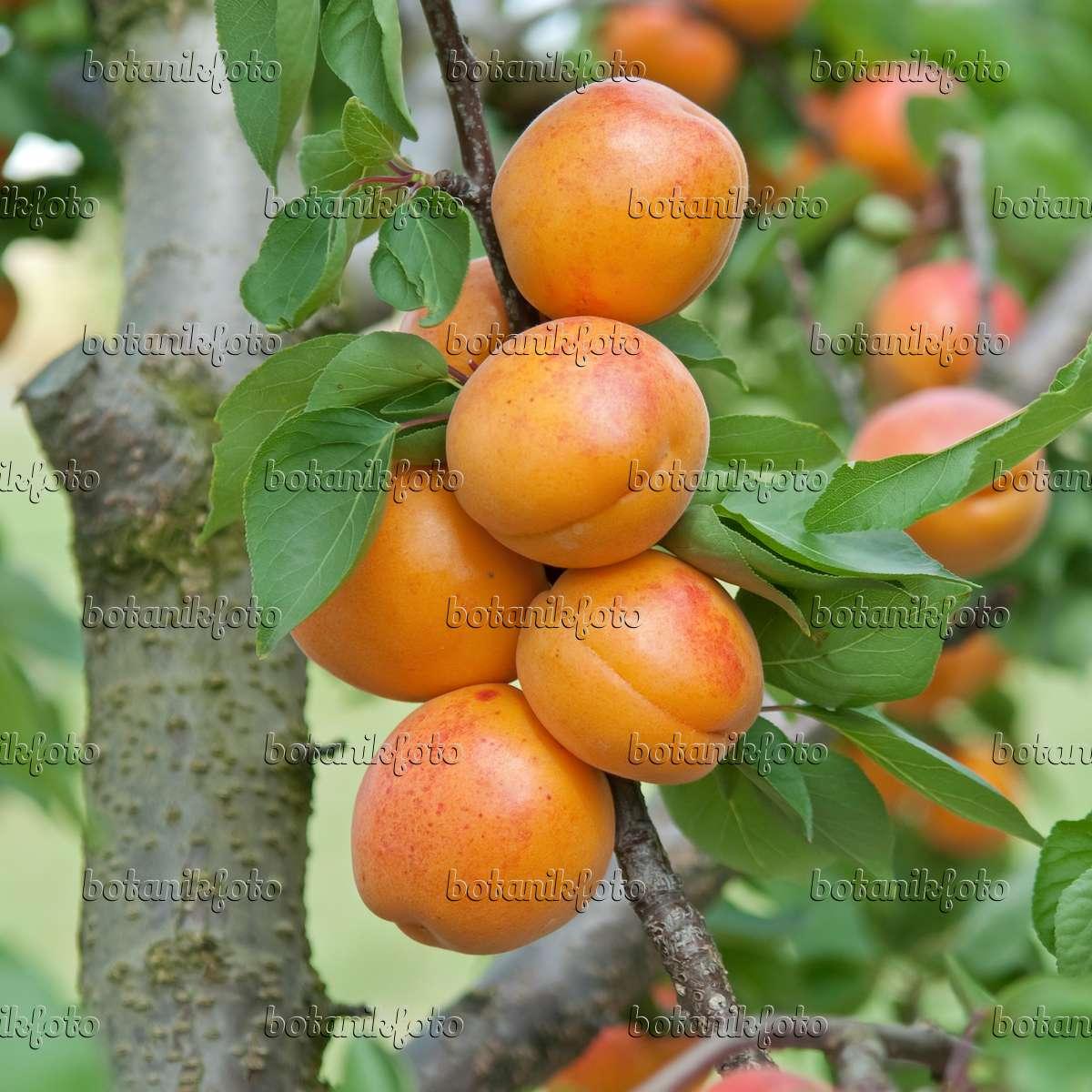 bild aprikose prunus armeniaca 39 harlayne 39 502329 bilder und videos von pflanzen und g rten. Black Bedroom Furniture Sets. Home Design Ideas