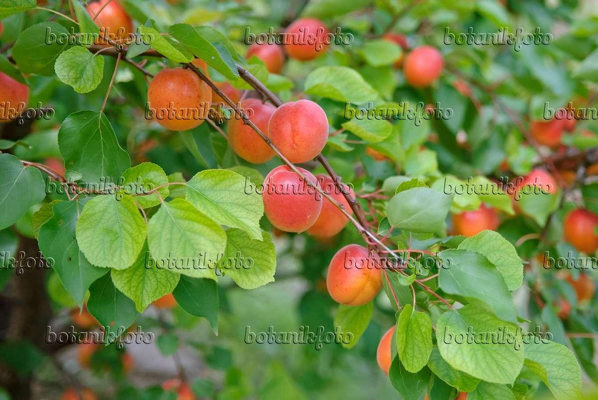 bild aprikose prunus armeniaca 39 pinkcot 39 502332 bilder und videos von pflanzen und g rten. Black Bedroom Furniture Sets. Home Design Ideas