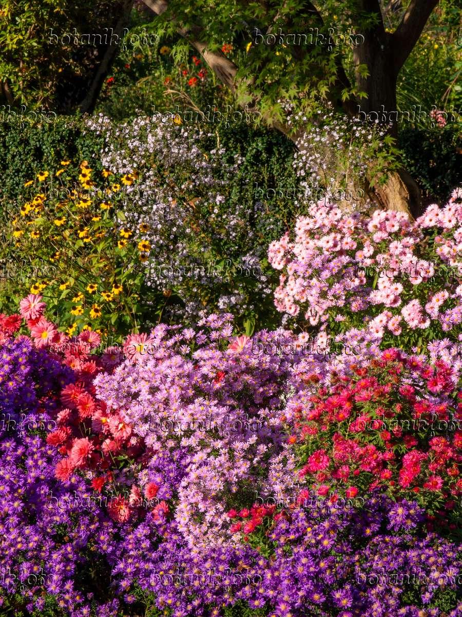 bild astern aster chrysanthemen chrysanthemum und sonnenhut rudbeckia 430116 bilder. Black Bedroom Furniture Sets. Home Design Ideas