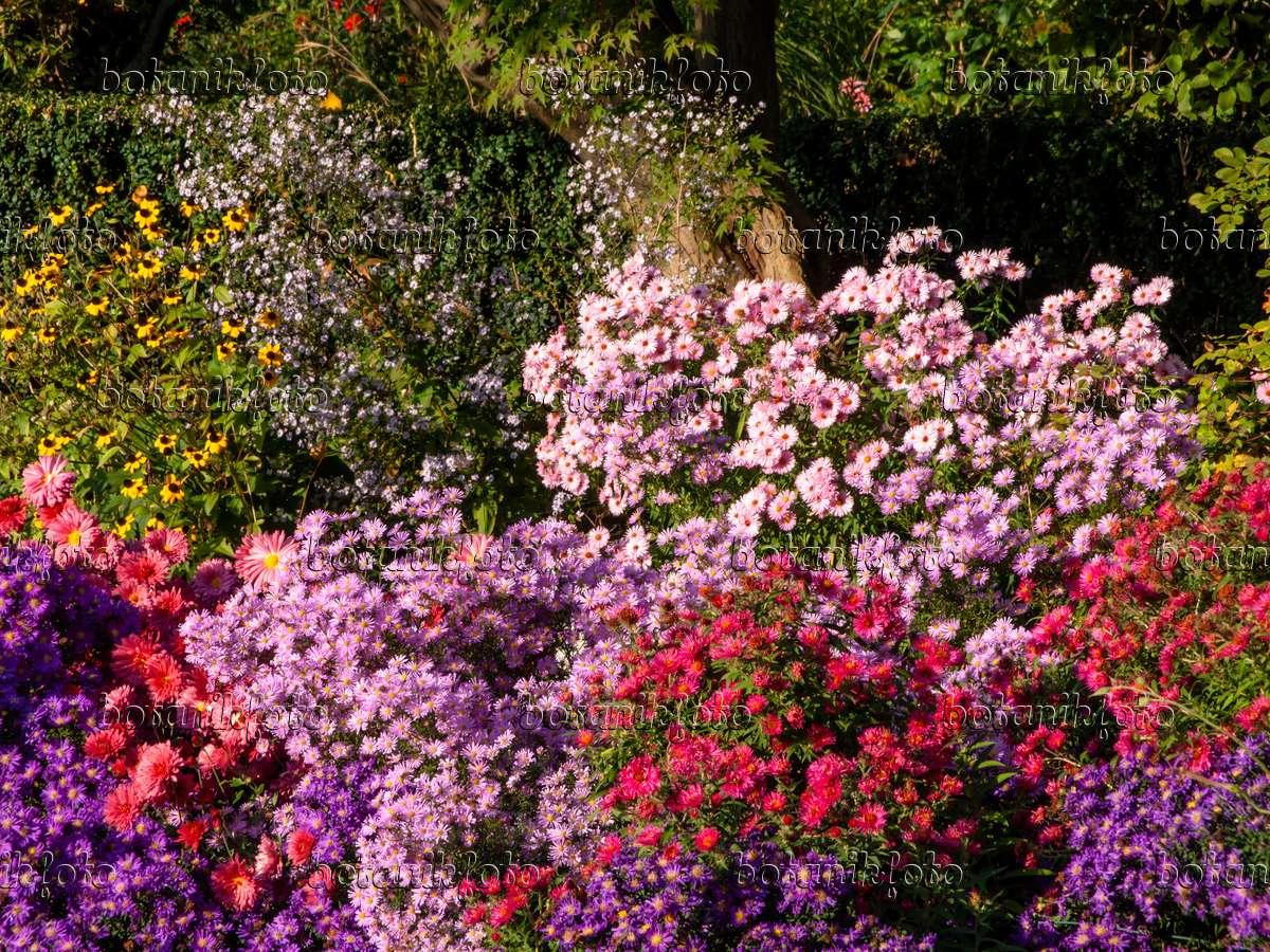 bild astern aster chrysanthemen chrysanthemum und sonnenhut rudbeckia 430117 bilder. Black Bedroom Furniture Sets. Home Design Ideas