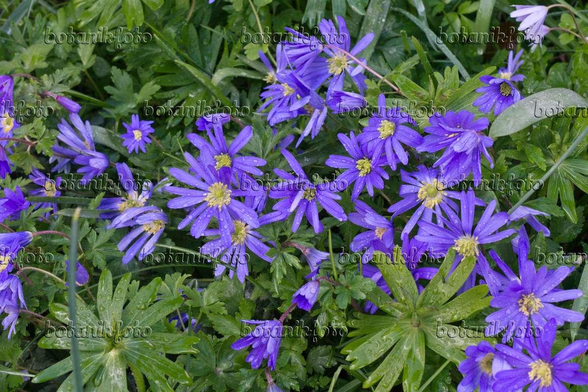 bild balkan windr schen anemone blanda 39 blue shades 39 570024 bilder und videos von pflanzen. Black Bedroom Furniture Sets. Home Design Ideas