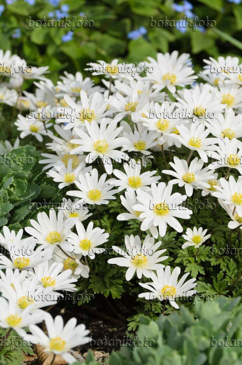 bild balkan windr schen anemone blanda 39 white splendour 39 495090 bilder und videos von. Black Bedroom Furniture Sets. Home Design Ideas