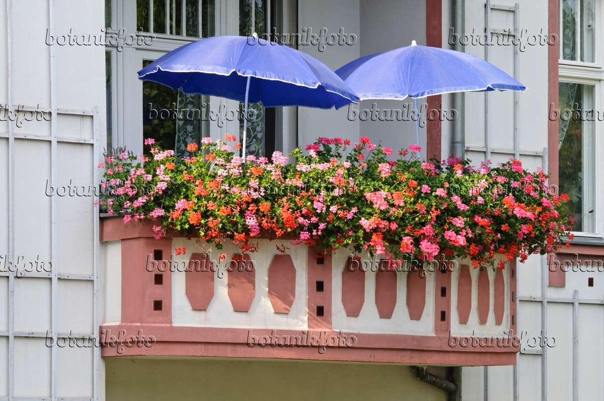 bild balkon mit geranien 475016 bilder und videos von pflanzen und g rten botanikfoto. Black Bedroom Furniture Sets. Home Design Ideas