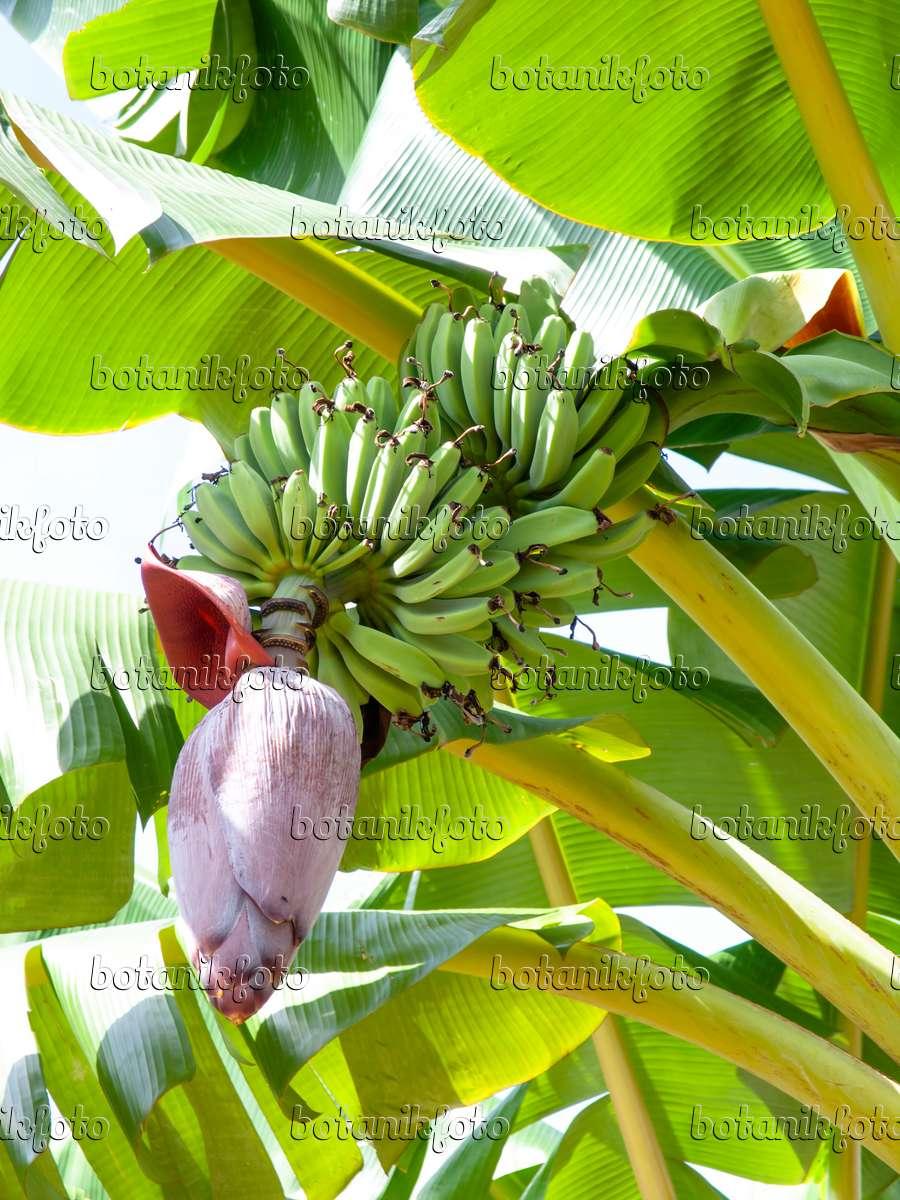 bilder banane bilder und videos von pflanzen und g rten botanikfoto. Black Bedroom Furniture Sets. Home Design Ideas