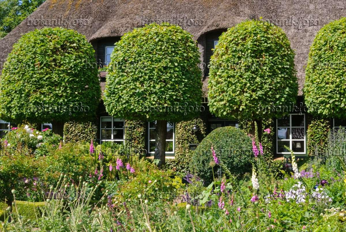 Bild bauerngarten mit gestutzten linden vor bauernhaus for Gartengestaltung bauerngarten bilder