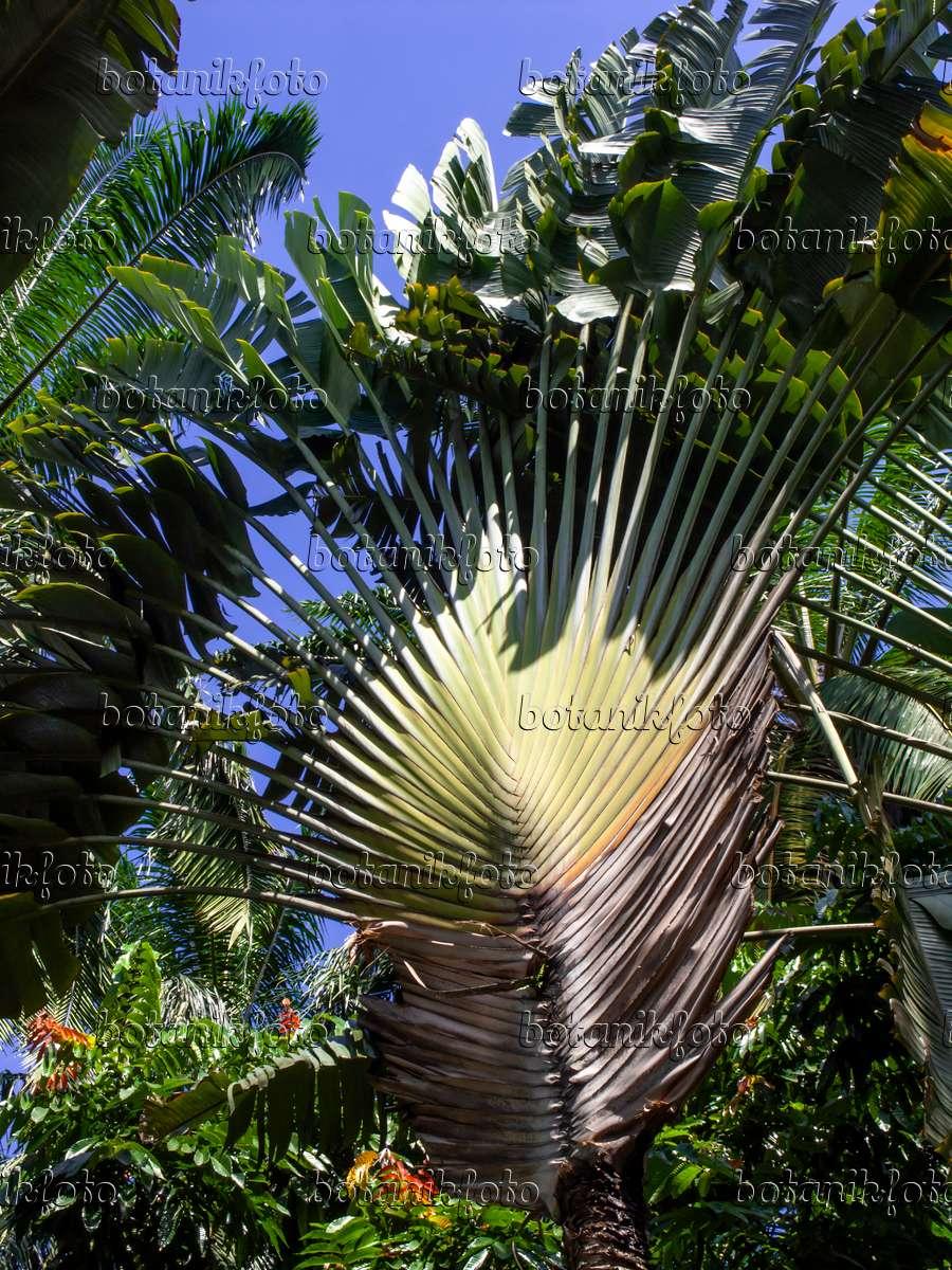 bilder tropische b ume 4 bilder und videos von pflanzen und g rten botanikfoto. Black Bedroom Furniture Sets. Home Design Ideas