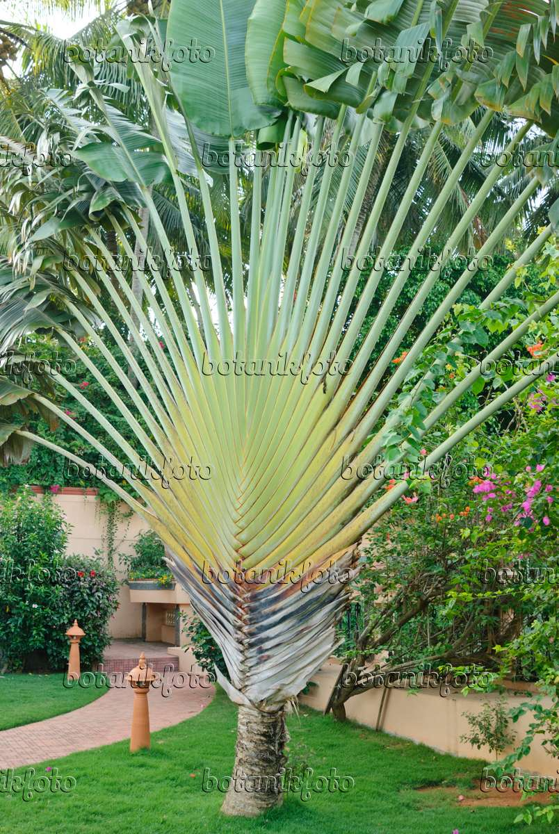 bild baum der reisenden ravenala madagascariensis 525488 bilder und videos von pflanzen. Black Bedroom Furniture Sets. Home Design Ideas