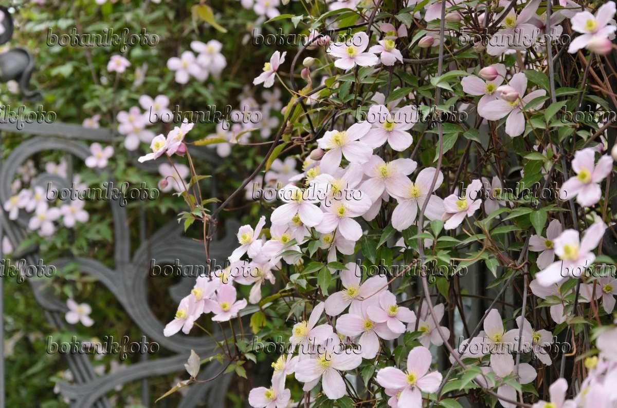 bild bergwaldrebe clematis montana 39 rubens 39 531155. Black Bedroom Furniture Sets. Home Design Ideas