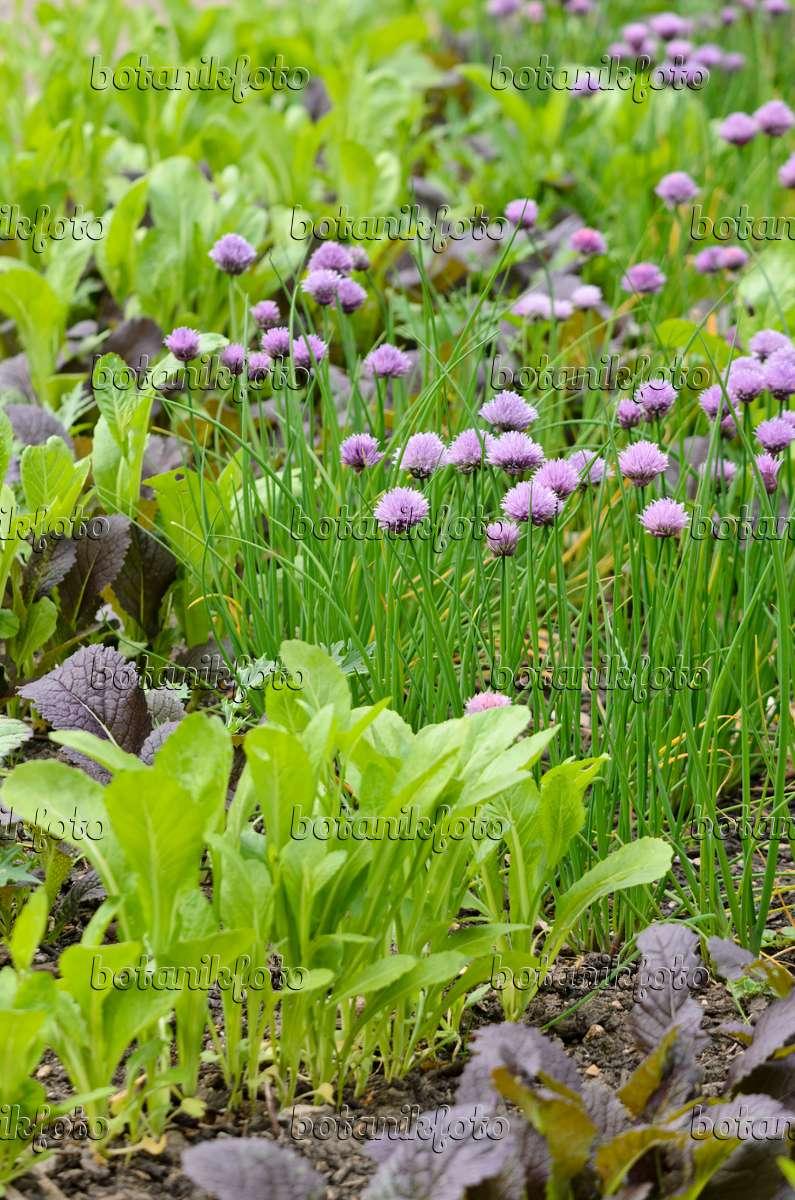 Küchenzwiebel Pflanzen ~ bilder gemüsegärten 3 bilder und videos von pflanzen und