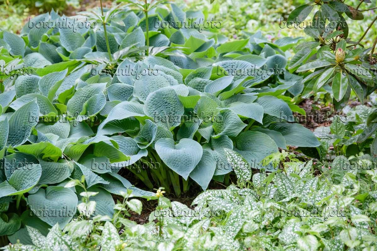 Blumen & Pflanzen Blaublattfunkie Hosta sieboldiana