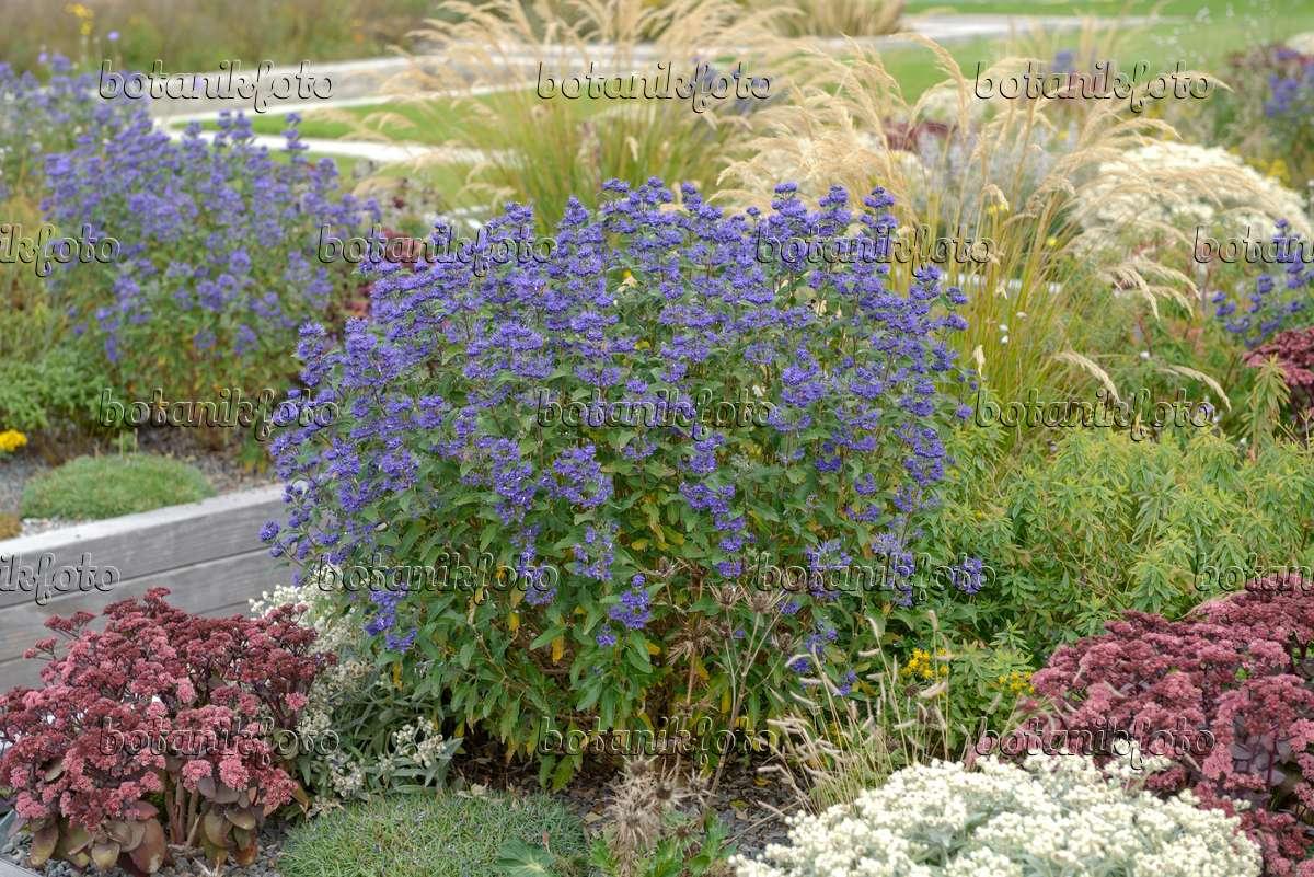 bild blaubl hende bartblume caryopteris x clandonensis 39 grand bleu 39 558065 bilder und. Black Bedroom Furniture Sets. Home Design Ideas