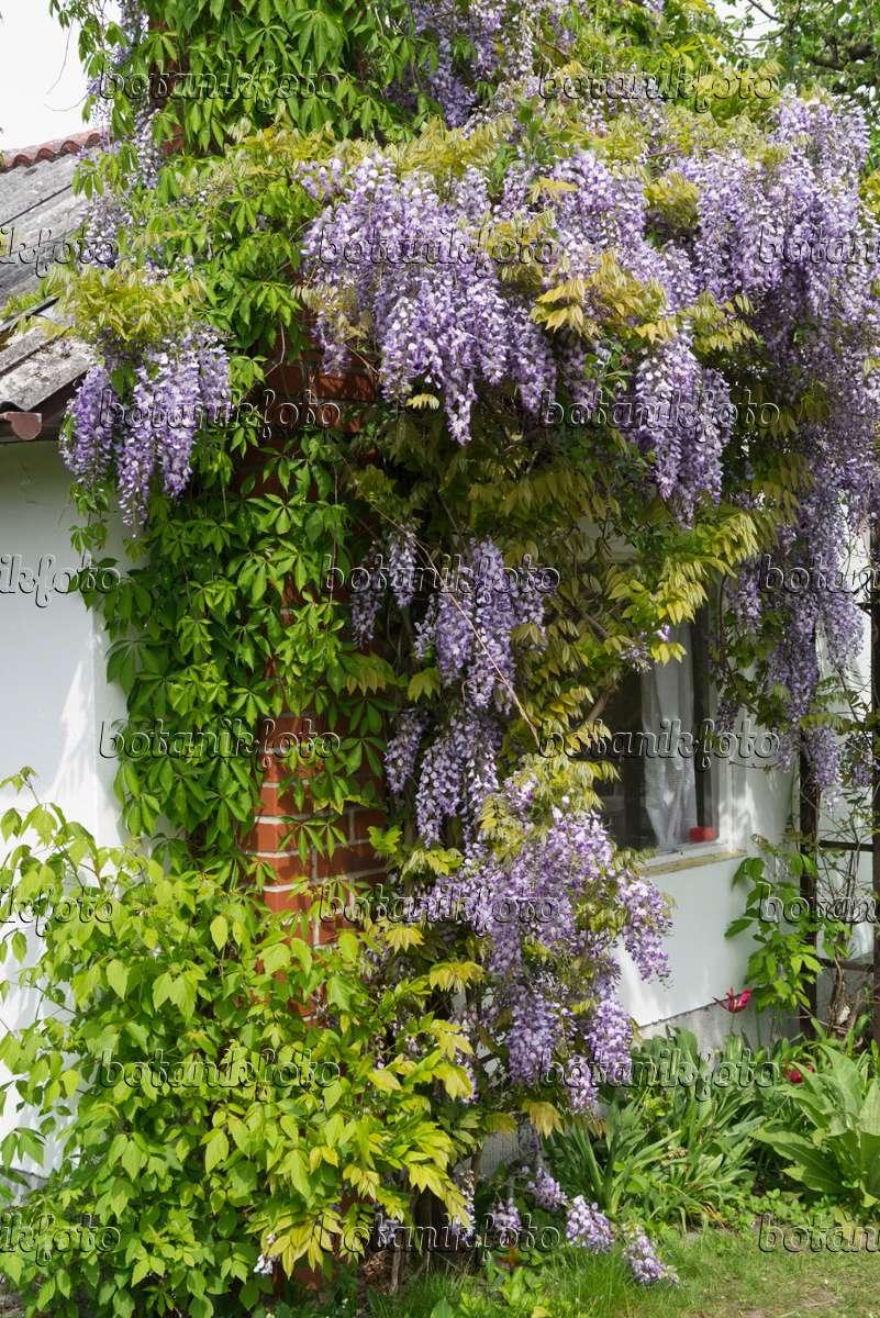 bild blauregen wisteria an einer gartenlaube 544095. Black Bedroom Furniture Sets. Home Design Ideas