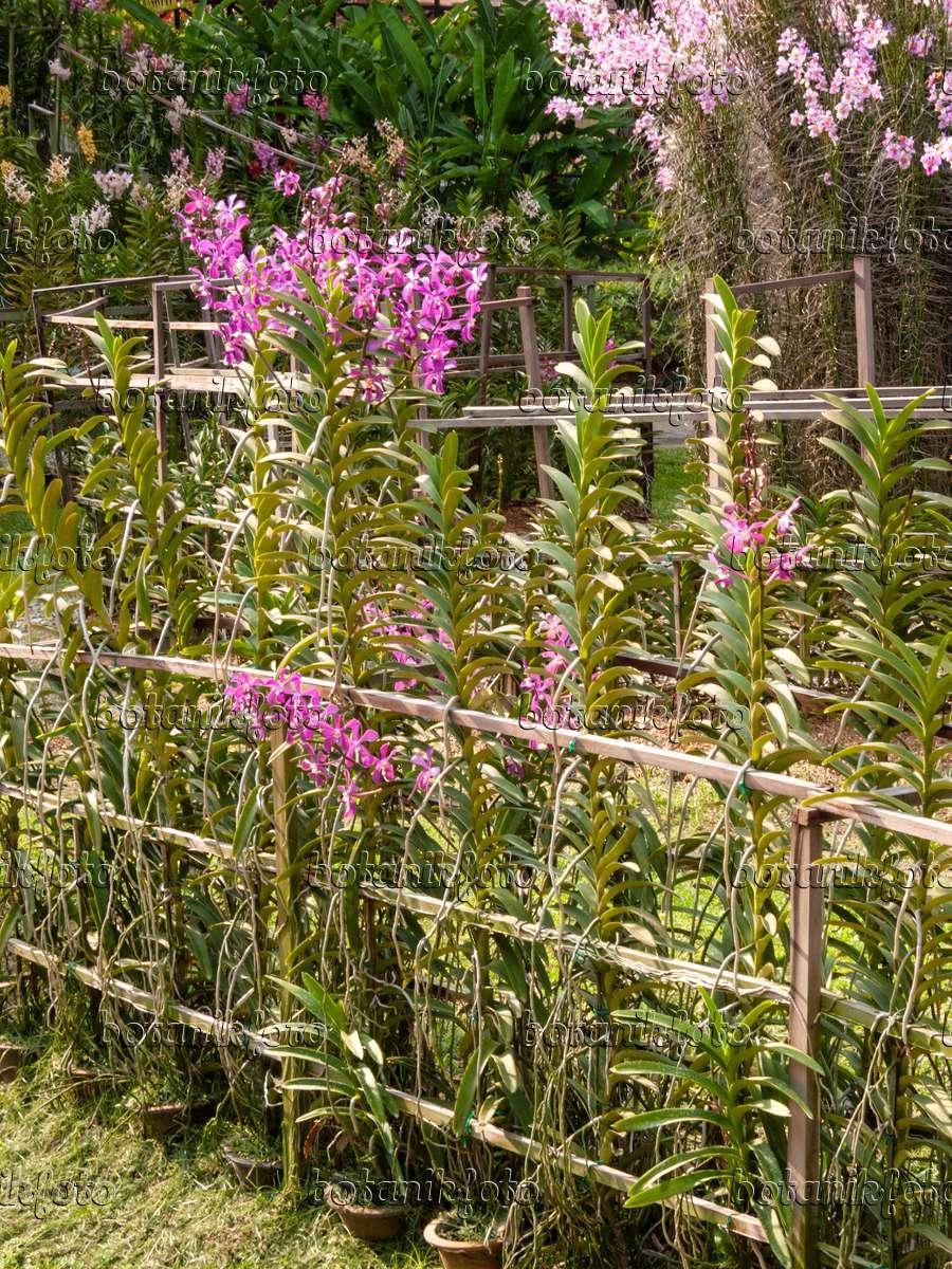 bilder orchideeng rten bilder und videos von pflanzen und g rten botanikfoto. Black Bedroom Furniture Sets. Home Design Ideas