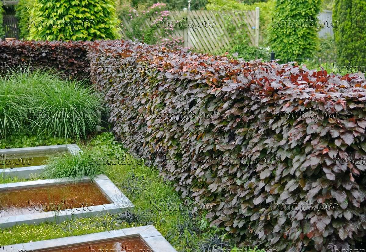 bild blutbuche fagus sylvatica 39 purpurea latifolia 39 502197 bilder und videos von pflanzen. Black Bedroom Furniture Sets. Home Design Ideas