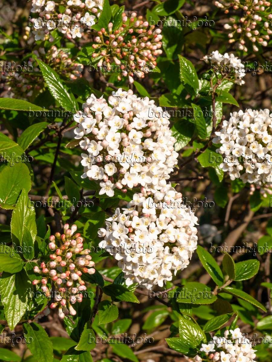 bild burkwoods schneeball viburnum x burkwoodii 459024. Black Bedroom Furniture Sets. Home Design Ideas