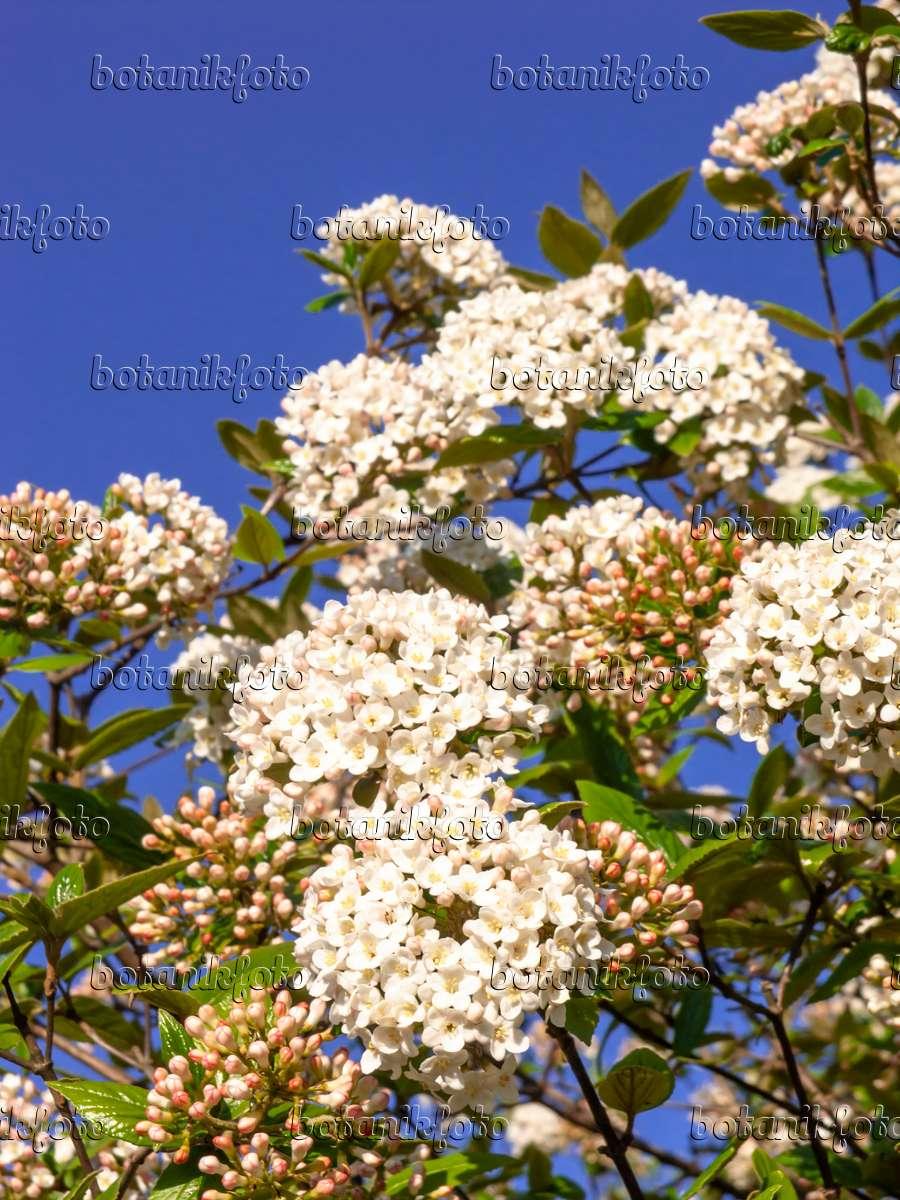 bild burkwoods schneeball viburnum x burkwoodii 459025 bilder und videos von pflanzen und. Black Bedroom Furniture Sets. Home Design Ideas