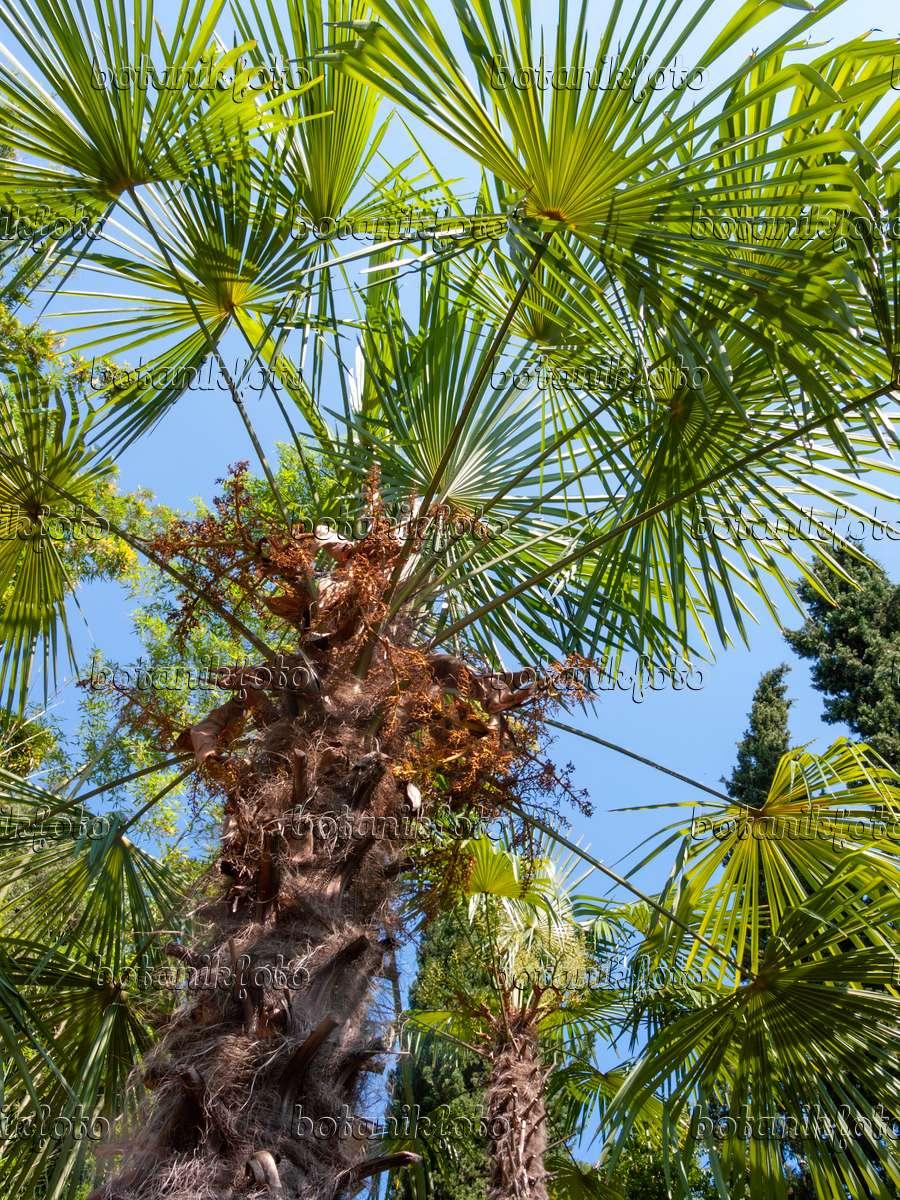 bild chinesische hanfpalme trachycarpus fortunei 414111 bilder und videos von pflanzen und. Black Bedroom Furniture Sets. Home Design Ideas