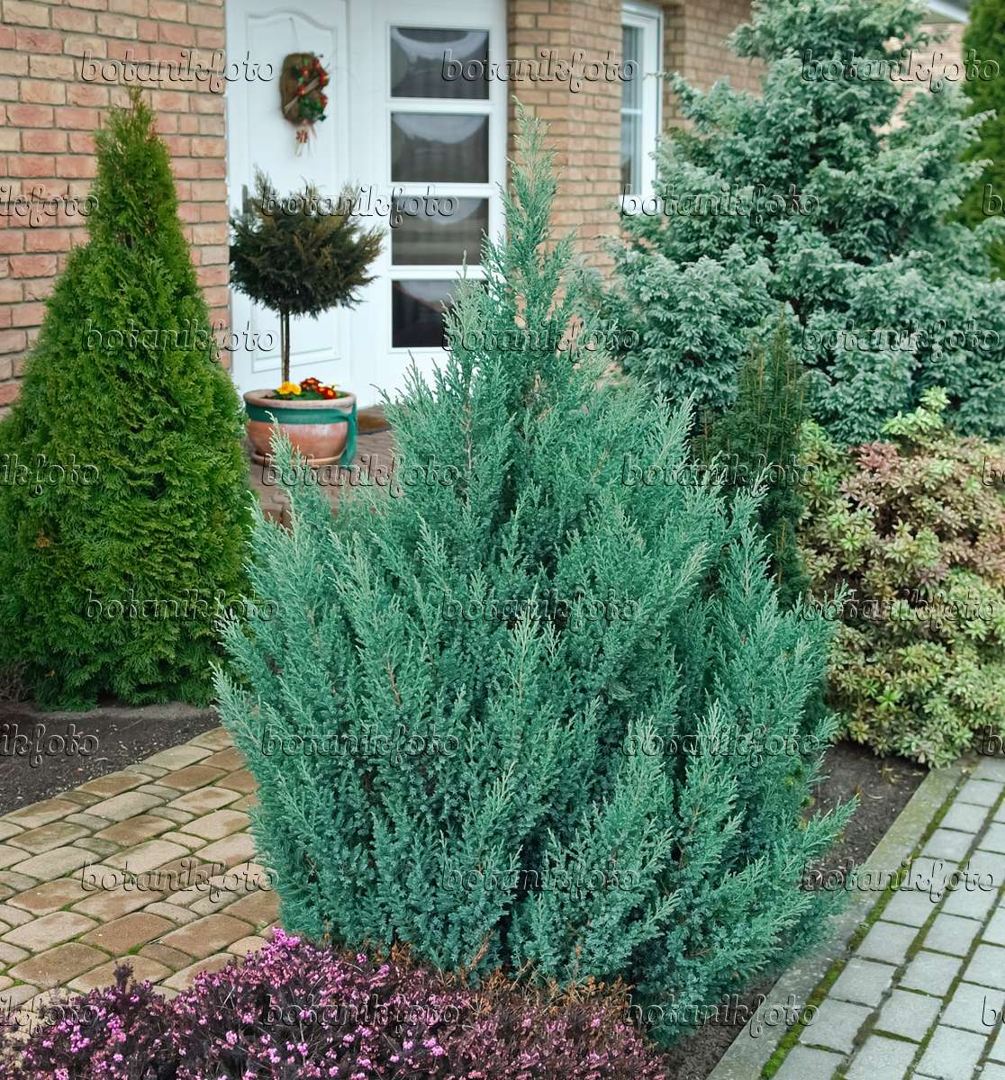 bild chinesischer wacholder juniperus chinensis 39 stricta 39 490084 bilder und videos von. Black Bedroom Furniture Sets. Home Design Ideas