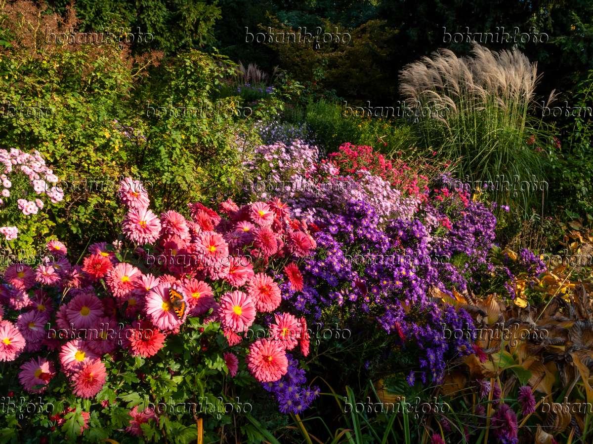 bild chrysanthemen chrysanthemum astern aster und chinaschilf miscanthus sinensis. Black Bedroom Furniture Sets. Home Design Ideas