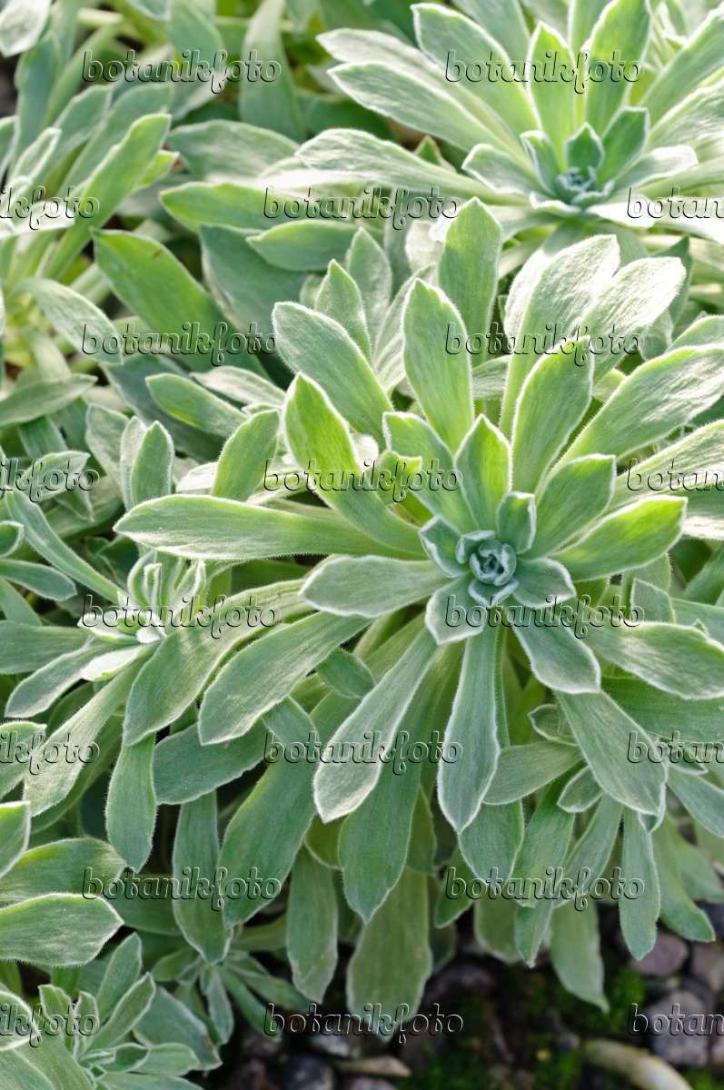 bild dachwurz aeonium mascaensis 470095 bilder und. Black Bedroom Furniture Sets. Home Design Ideas