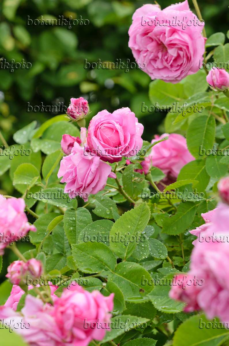 bild damaszener rose rosa x damascena 39 marie louise 39 521253 bilder und videos von pflanzen. Black Bedroom Furniture Sets. Home Design Ideas