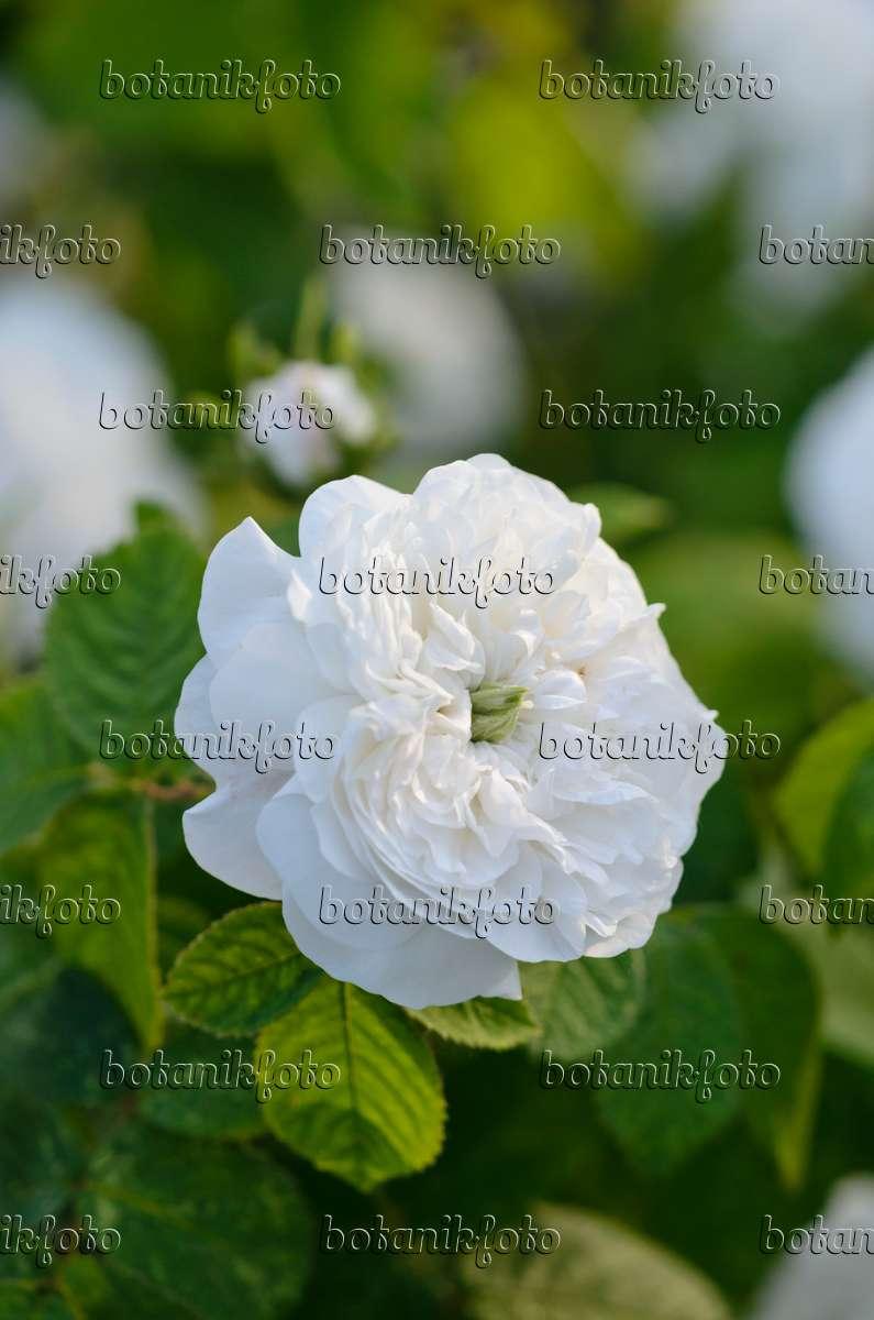 bild damaszener rose rosa x damascena 39 mme hardy 39 521053 bilder und videos von pflanzen. Black Bedroom Furniture Sets. Home Design Ideas
