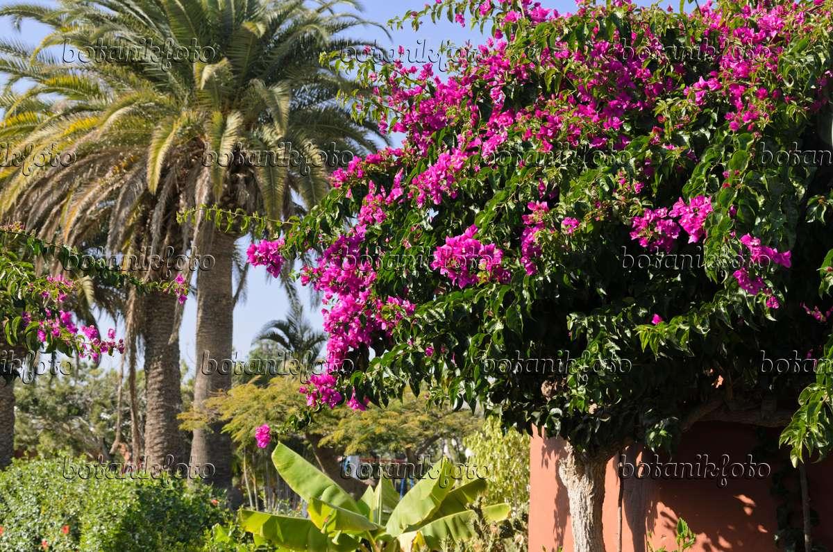 Bild Drillingsblume (bougainvillea) - 564053 - Bilder Und Videos ... Exotische Pflanzen Garten Bougainvillea Drillingsblume