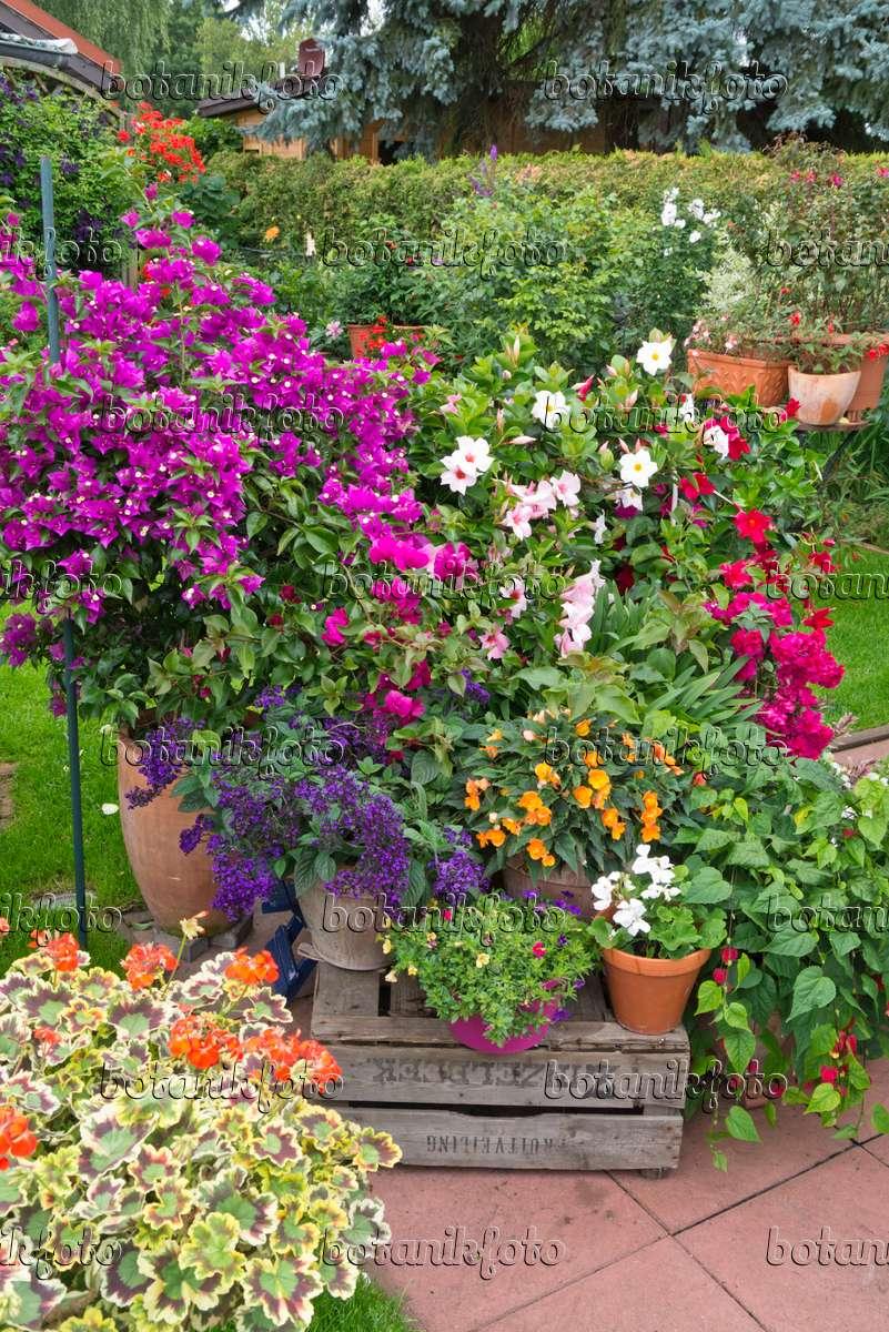 bilder dipladenia bilder und videos von pflanzen und g rten botanikfoto. Black Bedroom Furniture Sets. Home Design Ideas