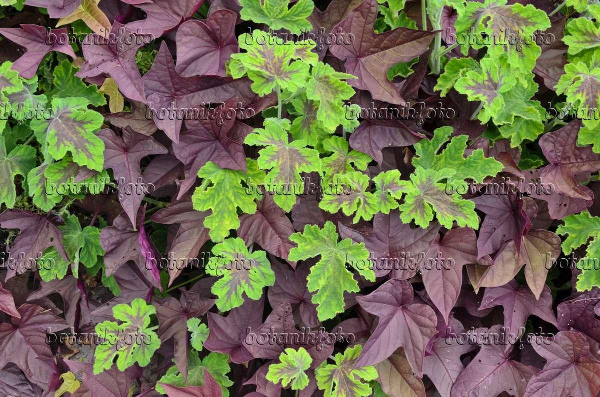 bilder geranie 2 bilder und videos von pflanzen und g rten botanikfoto. Black Bedroom Furniture Sets. Home Design Ideas