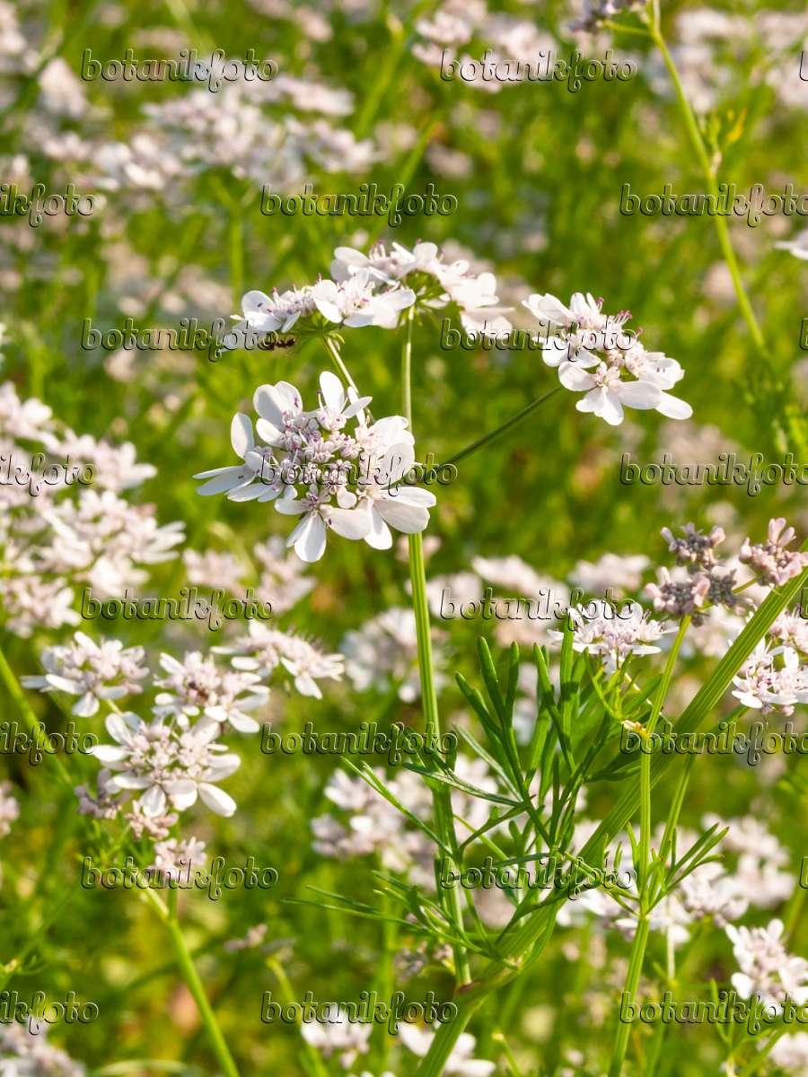 Bild echter koriander coriandrum sativum 414004 for Koriander pflanzen