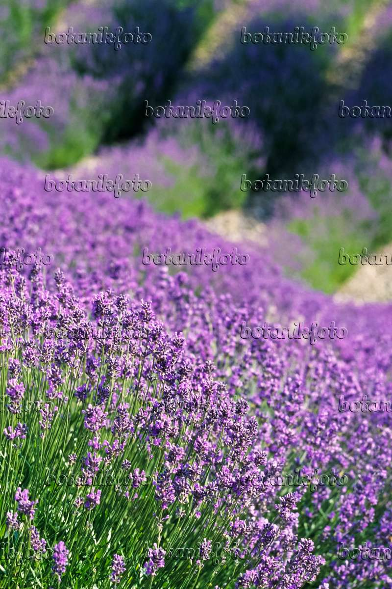 bild echter lavendel lavandula angustifolia 380003. Black Bedroom Furniture Sets. Home Design Ideas