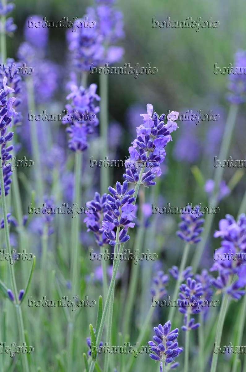 bild echter lavendel lavandula angustifolia 497287. Black Bedroom Furniture Sets. Home Design Ideas