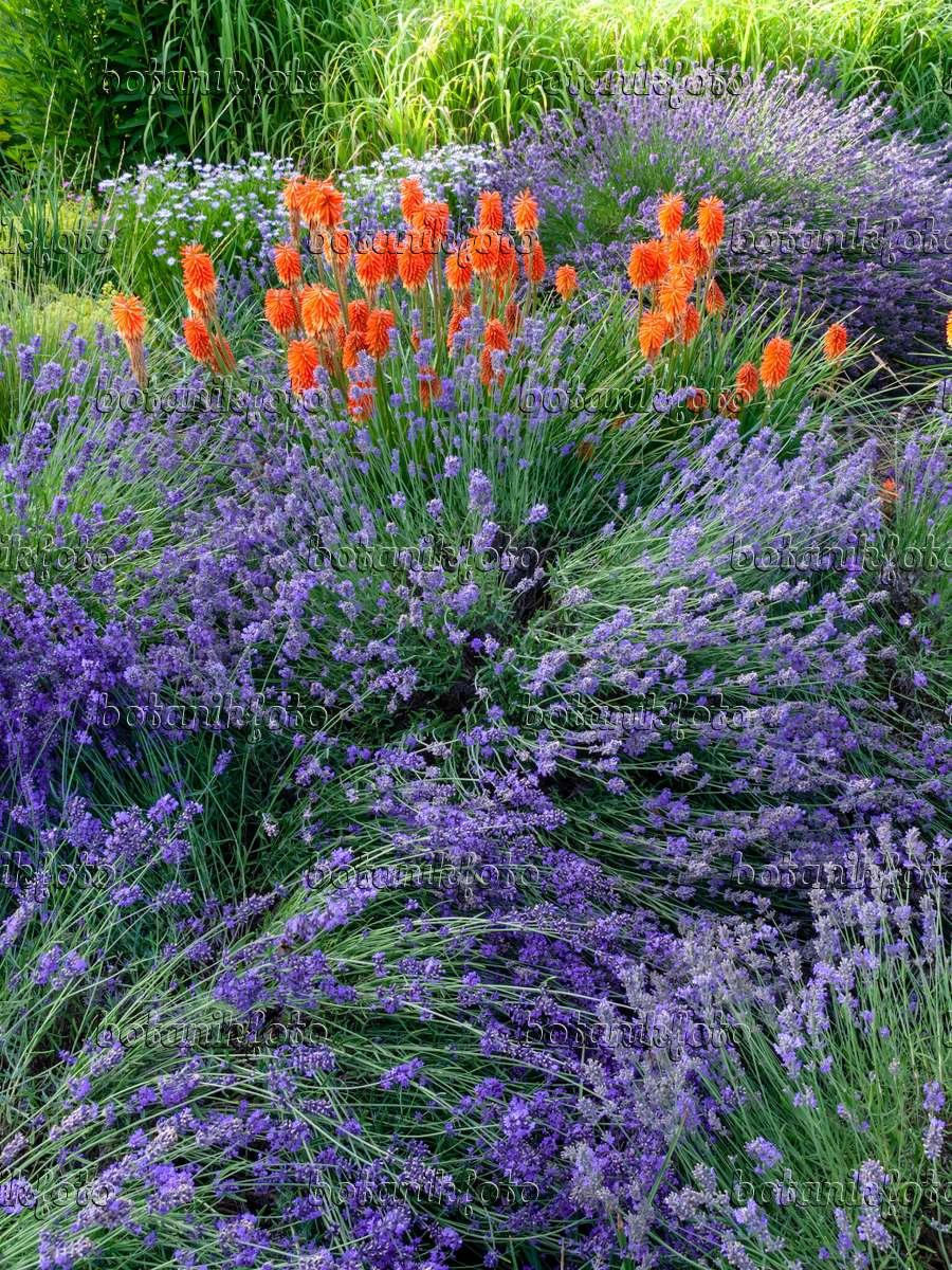 bild echter lavendel lavandula angustifolia und. Black Bedroom Furniture Sets. Home Design Ideas