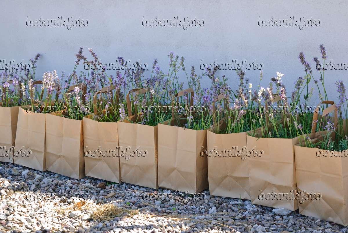 bild echter lavendel lavandula angustifolia in. Black Bedroom Furniture Sets. Home Design Ideas