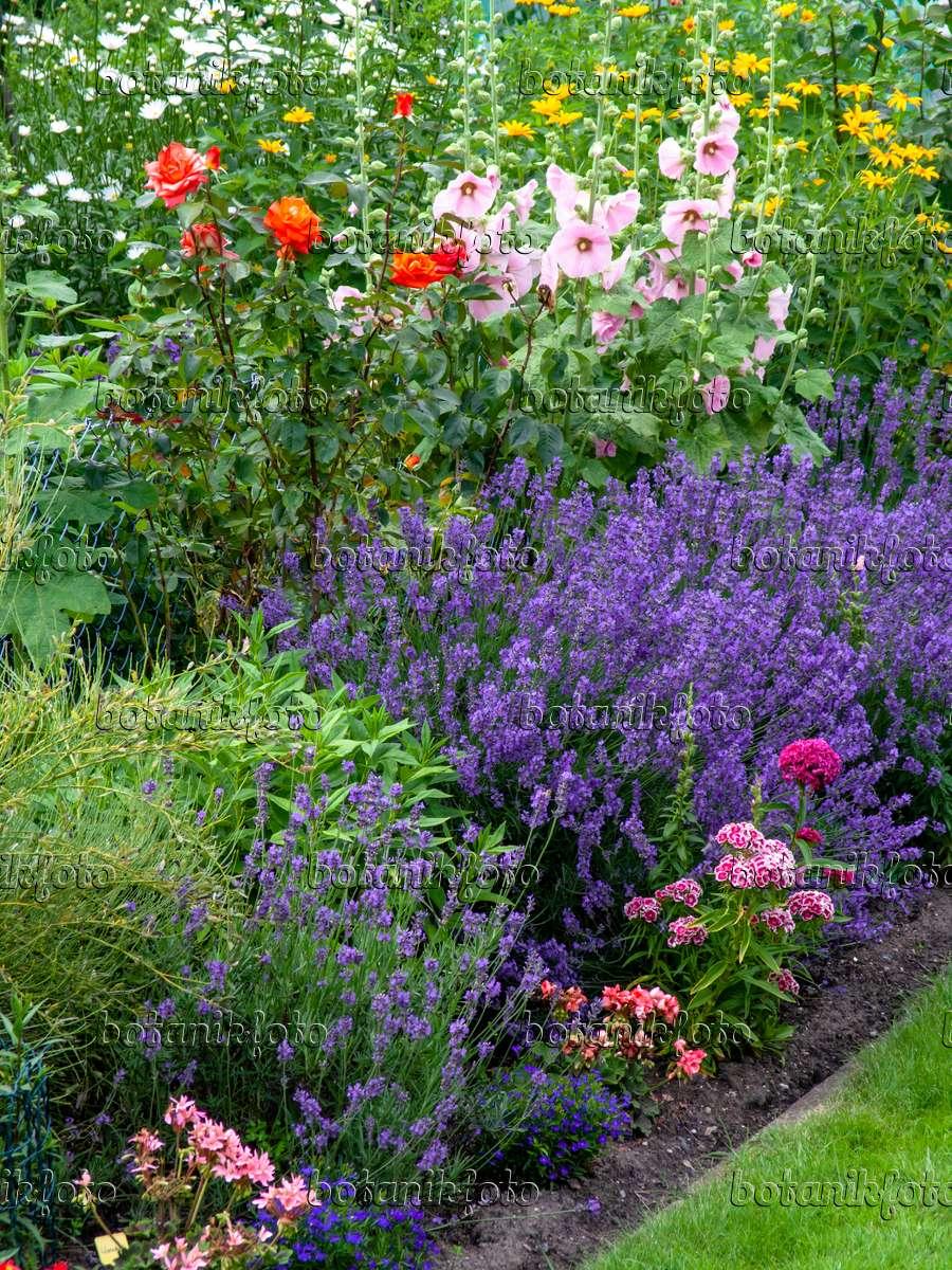 bild echter lavendel lavandula angustifolia rosen rosa. Black Bedroom Furniture Sets. Home Design Ideas
