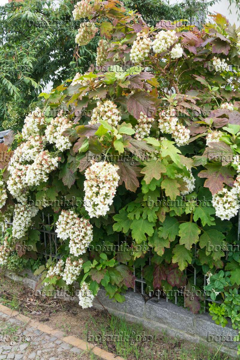 bild eichenbl ttrige hortensie hydrangea quercifolia. Black Bedroom Furniture Sets. Home Design Ideas