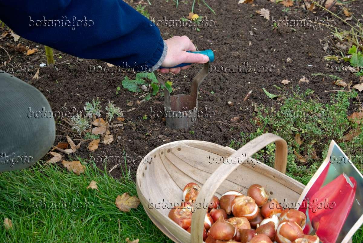tulpenzwiebeln einpflanzen