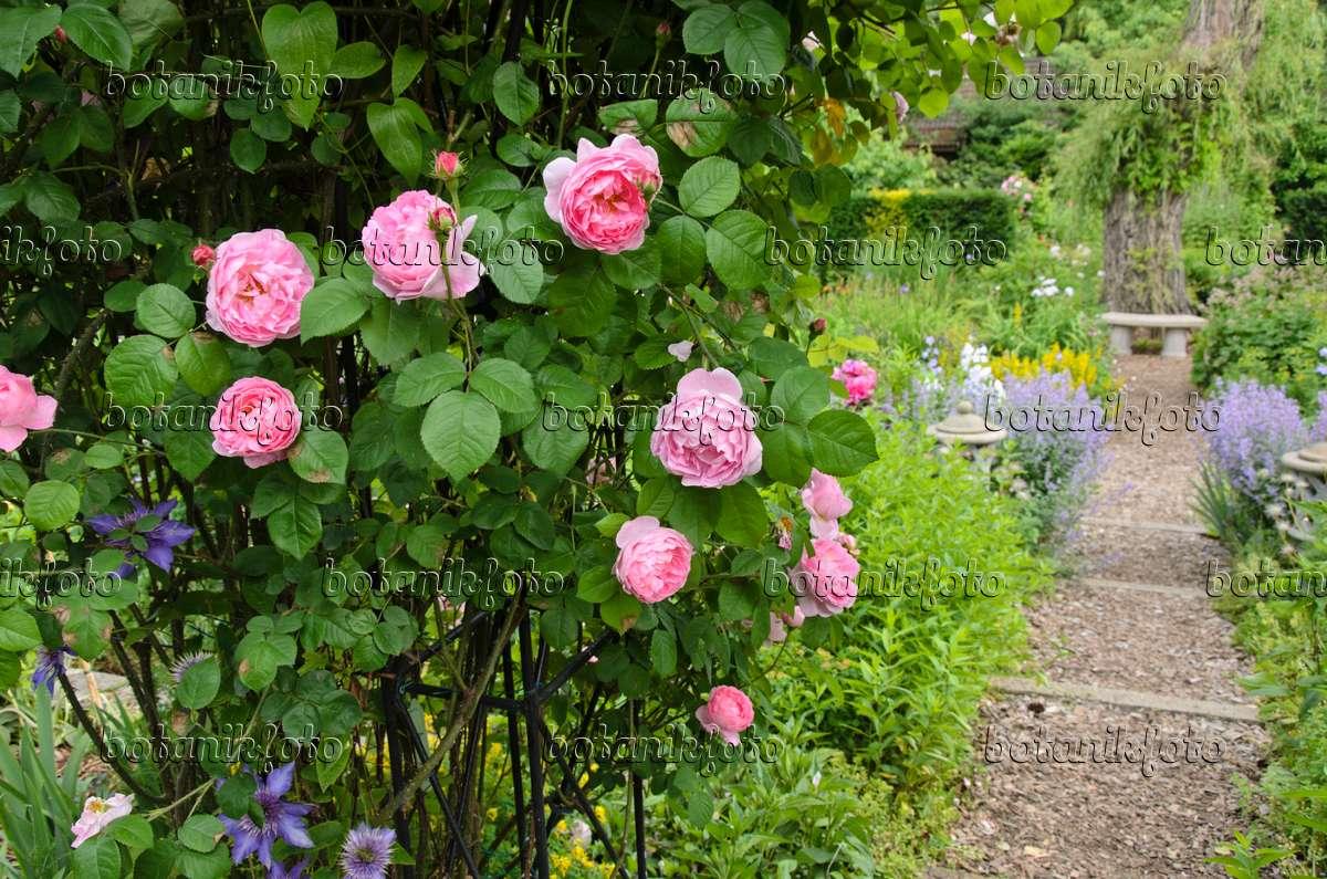 bild englische rose rosa constance spry 521087. Black Bedroom Furniture Sets. Home Design Ideas