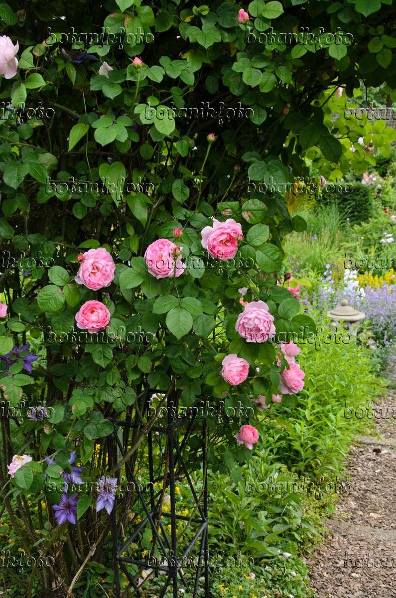 bild englische rose rosa constance spry 521088 bilder und videos von pflanzen und g rten. Black Bedroom Furniture Sets. Home Design Ideas