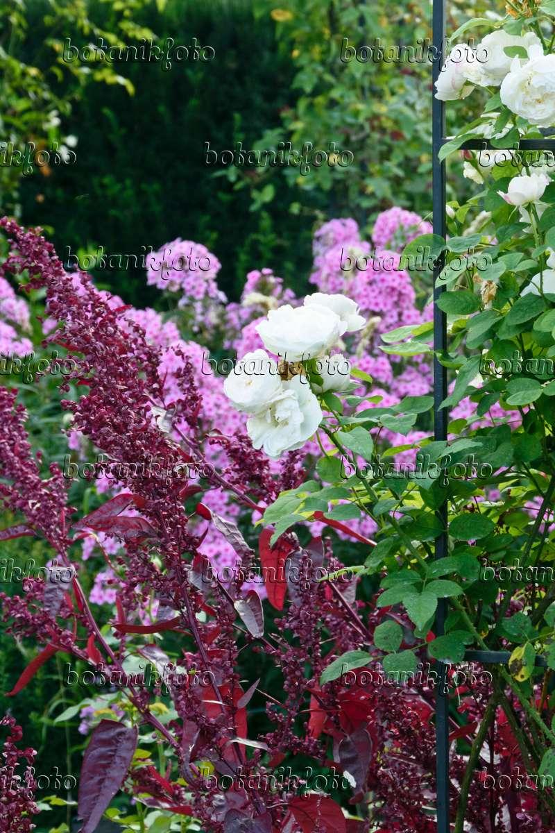 bild englische rose rosa winchester cathedral und rote. Black Bedroom Furniture Sets. Home Design Ideas