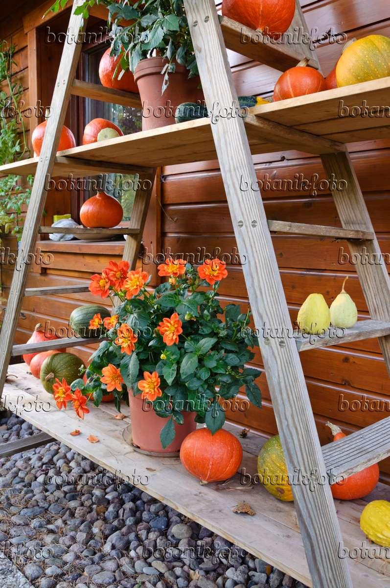 bilder dahlie 7 bilder und videos von pflanzen und g rten botanikfoto. Black Bedroom Furniture Sets. Home Design Ideas