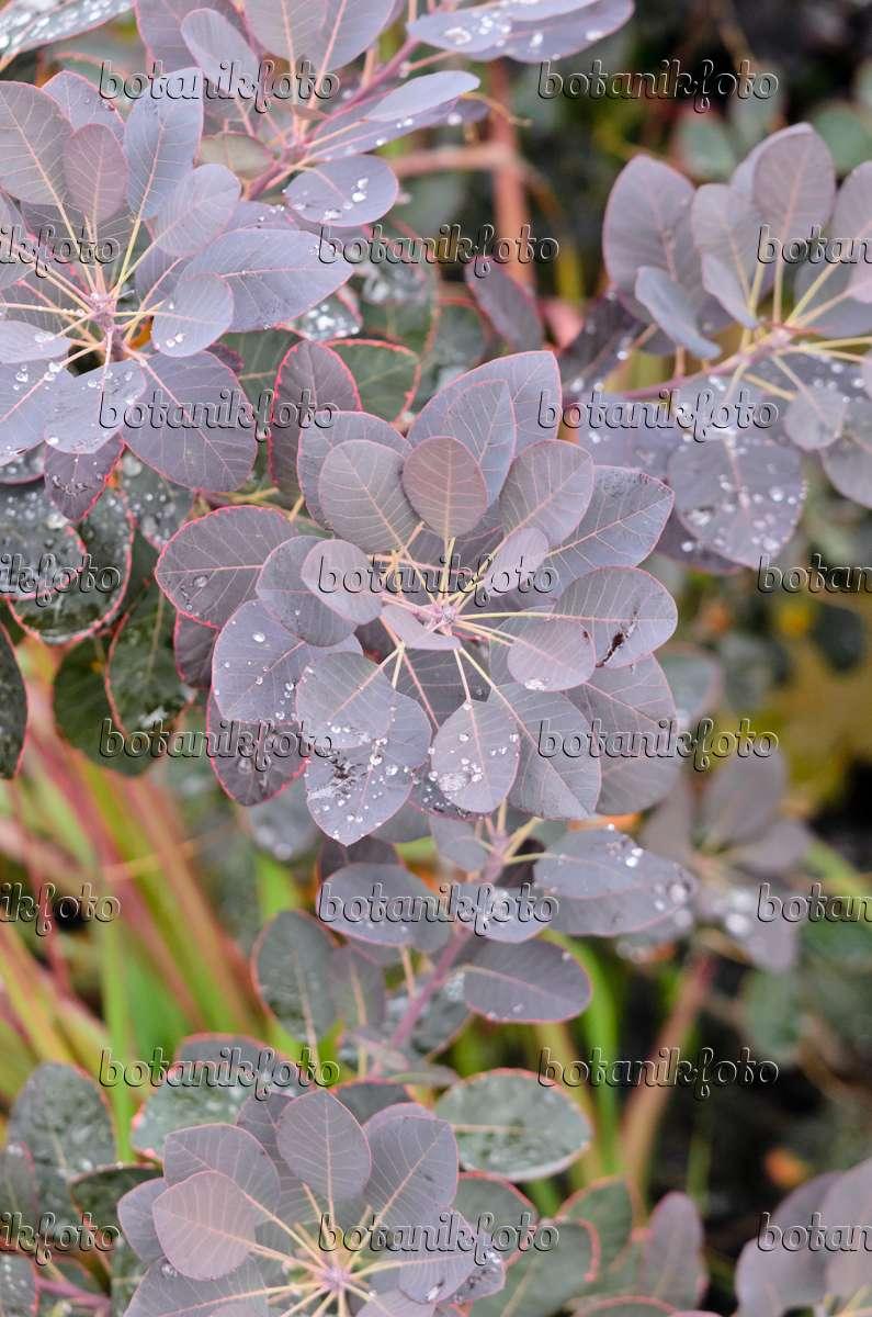 bild europ ischer per ckenstrauch cotinus coggygria 39 royal purple 39 547323 bilder und. Black Bedroom Furniture Sets. Home Design Ideas