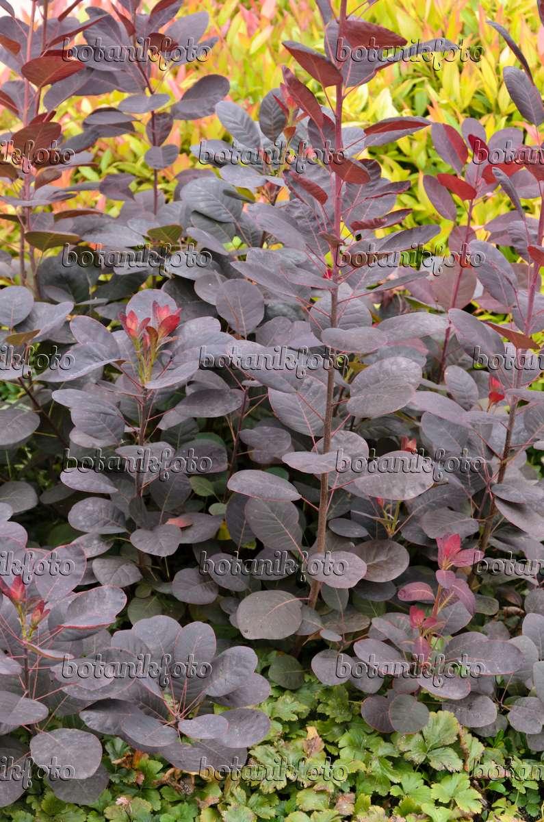 bild europ ischer per ckenstrauch cotinus coggygria 39 royal purple 39 571045 bilder und. Black Bedroom Furniture Sets. Home Design Ideas