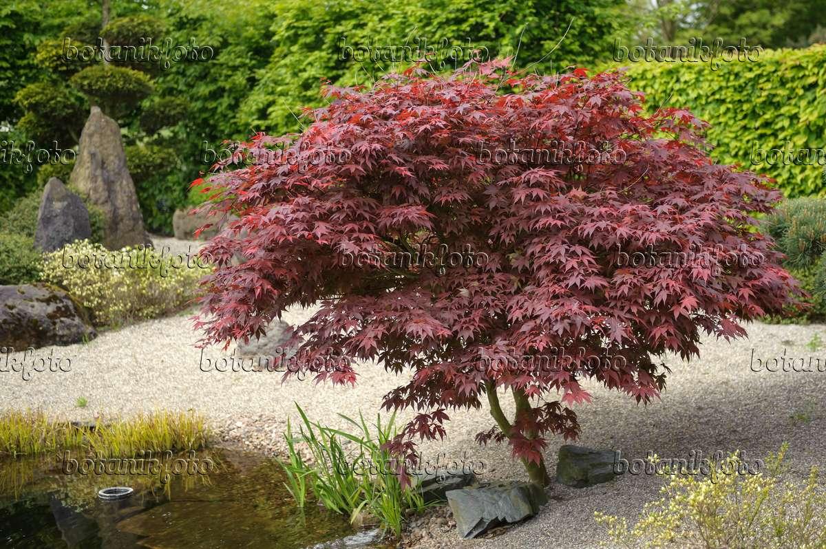 Berühmt Bild Fächerahorn (Acer palmatum 'Bloodgood') - 535249 - Bilder und @RL_43
